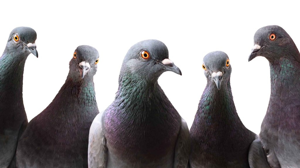 Image of a group of pigeons staring at the camera. Researchers have found that birds can thrive in cities either by having larger brains or by breeding more often: Frontiers in Ecology and Evolution.